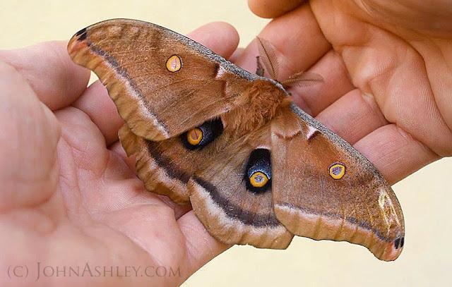 Polyphemus moth (c) John Ashley