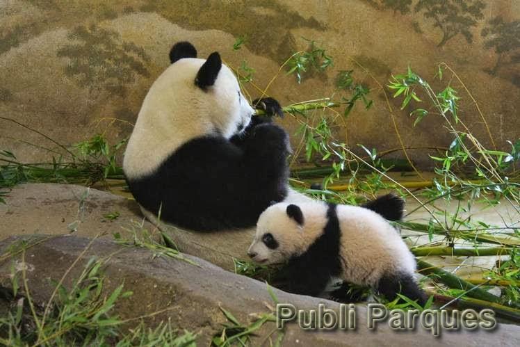 cría de oso panda en Zoo Aquarium de Madrid