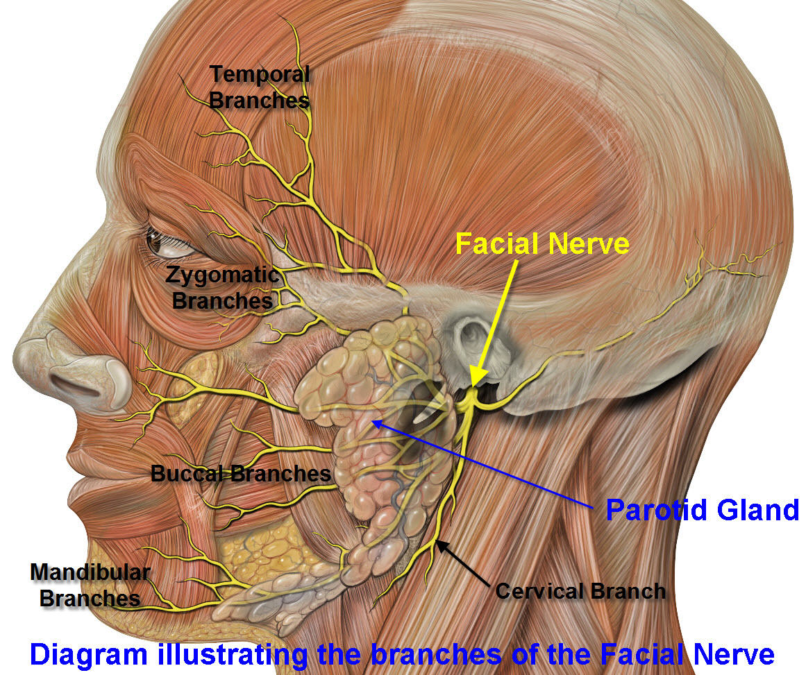 Face anatomy nerves