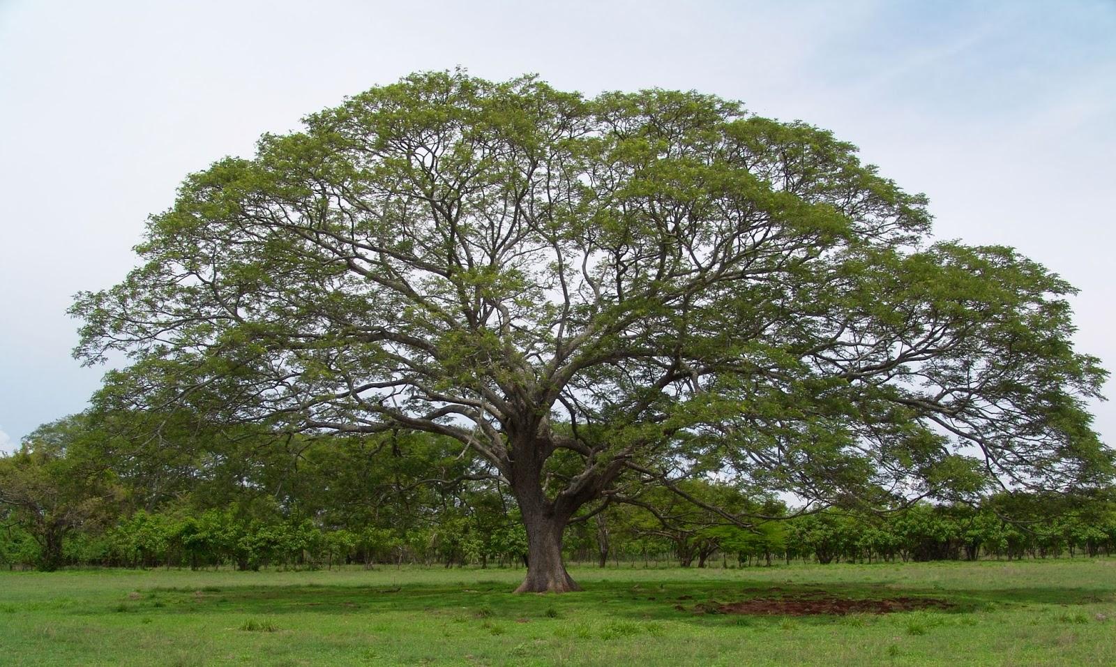 Guayaquil rboles y plantas de su entorno especies for El arbol que no tiene hojas