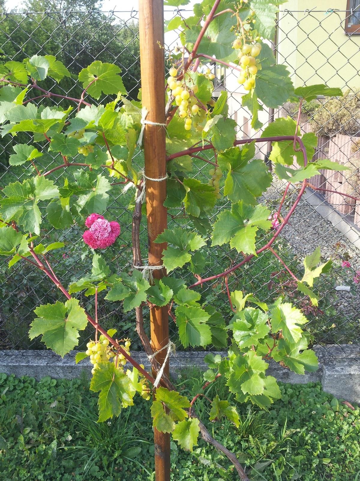 http://1.bp.blogspot.com/-ie9B-OvV65M/USFQ8ZiUKgI/AAAAAAAANdE/zdNX0zywPoA/s1600/wino-roza.jpg