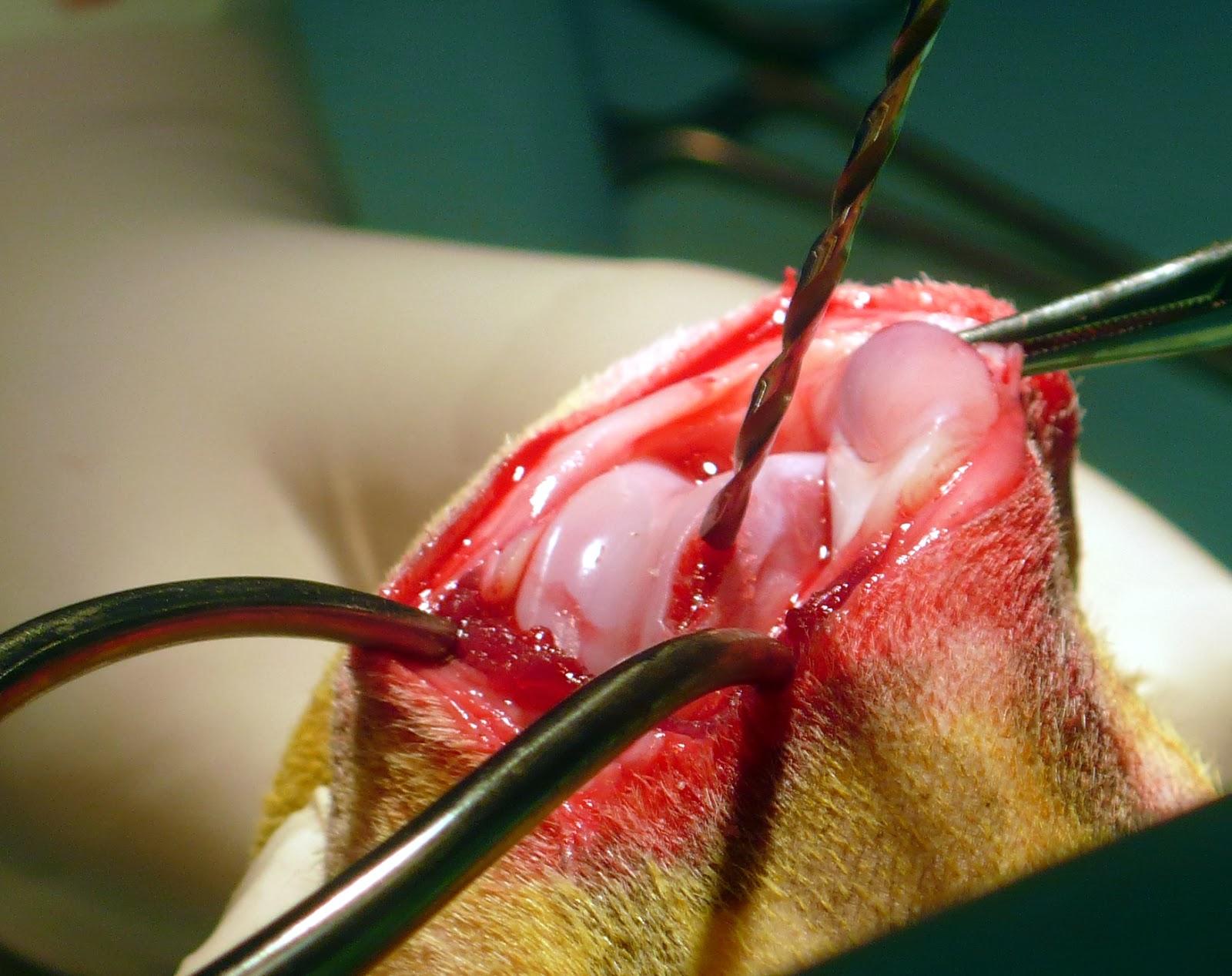 tratamiento osteoartrosis condilar femur perro