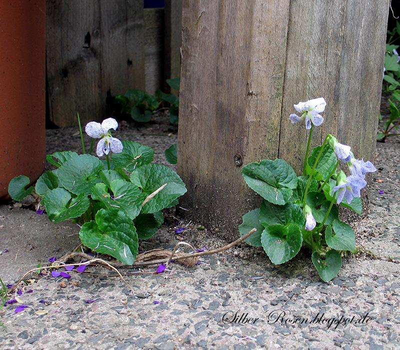 Viola sonoria Freckles hat geprenkelte Blütenblätter und sät sich reichlich aus.