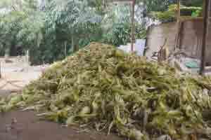 Blog Info, limbah jagung
