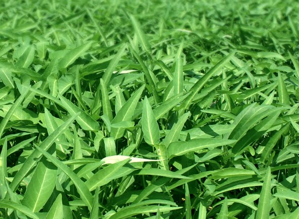 Spinach Chemical Properties