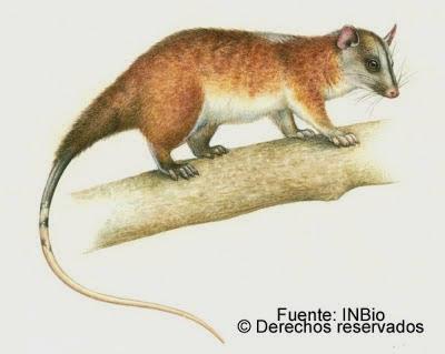 Caluromys derbianus