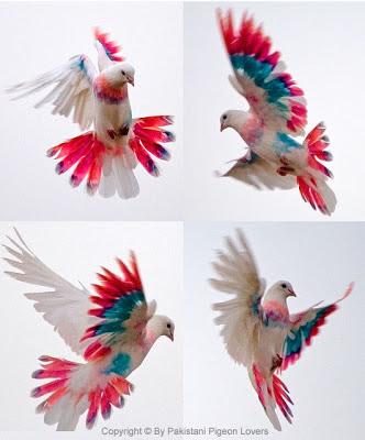 pakistani white pigeons