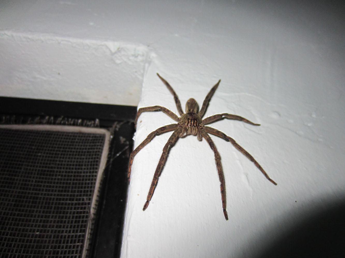 Huntsman Spider Size Comparison