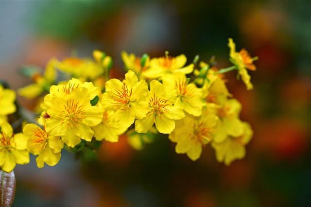 Ảnh đẹp mai vàng ngày tết nguyên đán - Hình 8