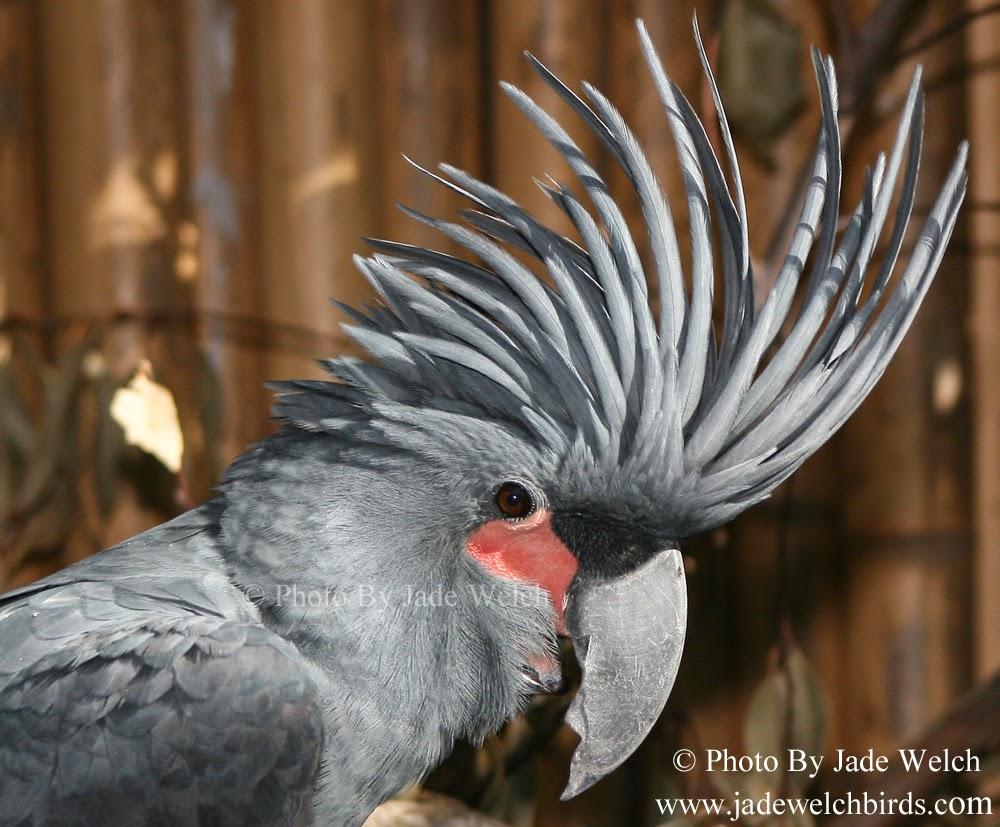 palm cockatoo jadewelchbirds ben adelaide jade