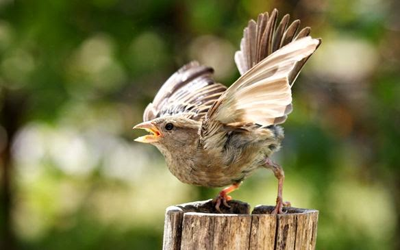 uji-mental-burung-petarung