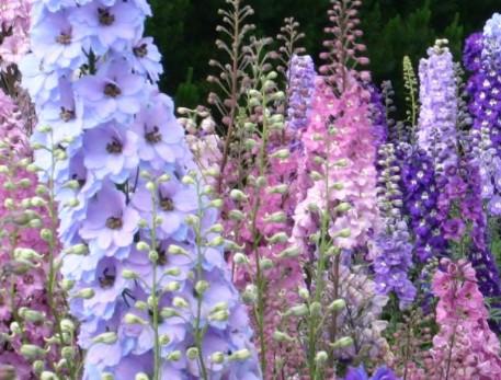 Il giardino sfumato spighe di fiori for Fiori da ombra perenni