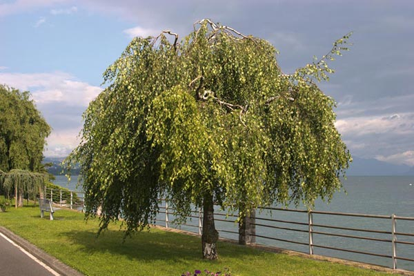 betula pendula 39 youngii 39 young 39 s weeping birch. Black Bedroom Furniture Sets. Home Design Ideas