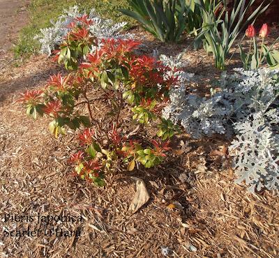 Pieris japonica scarlet o'hara