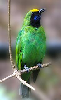 Burung Cucak Thailand (Cucak Hijau Kepala Kuning) Info Tentang Makanan, Kekurangan Dan Kelebihan  Burung Cucak Thailand (Cucak Hijau Kepala Kuning)