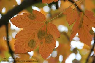 érable canada d'automne
