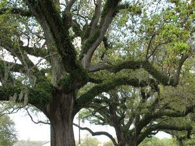 resurrection fern blankets live oak:  City Park, NOLA