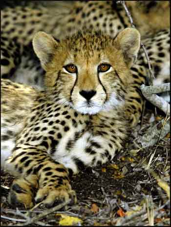 cheetah endangered article