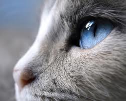 modern siamese cat