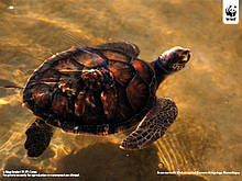 Green Turtle Wallpaper 42529 316119