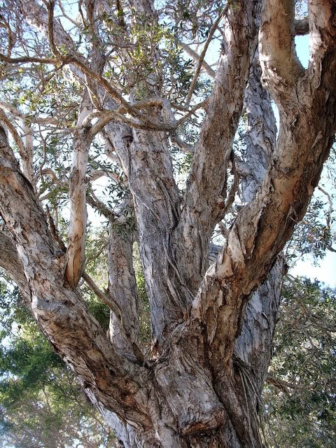 Tea Tree Oil – Discover the Amazing Health Benefits of This Essential Oil