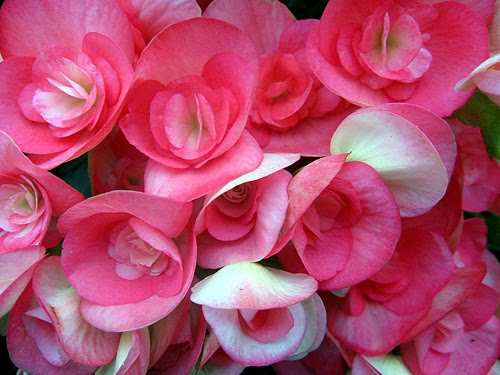 BEAUTIFUL FLOWERS: Begonia Flowers - Pictures & Meanings