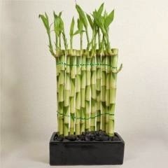 serpentine wall lucky bamboo