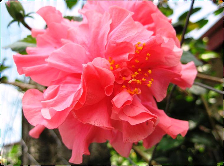 gumamela hibiscus rosa sinensin linn flowers as
