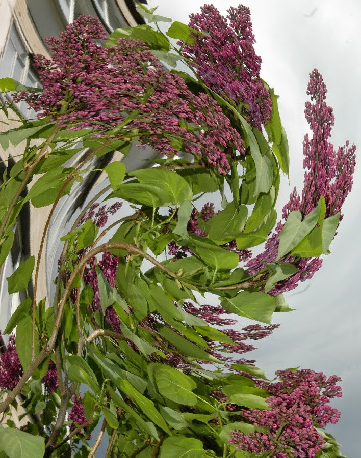 Фото Виталия Бабенко: цветёт сирень