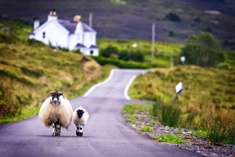 Ovejas en las Highlands