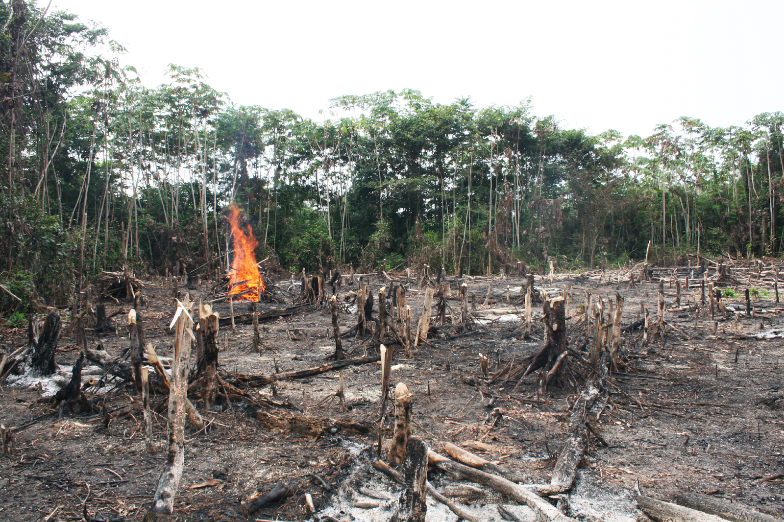 the cause and effect of deforestation in tropical rainforests Large-scale mining operations, especially those using open-pit mining techniques, can result in significant deforestation through forest clearing and the construction of roads which open remote forest areas to transient settlers, land speculators, and small-scale miners.