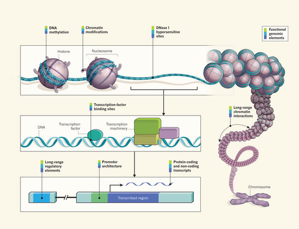 Dna lixo a piada evolucionista em defesa do design inteligente a third phase now getting under way will fill out the human instruction manual and provide much more detail ccuart Image collections