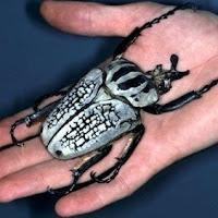 escarabajo goliath