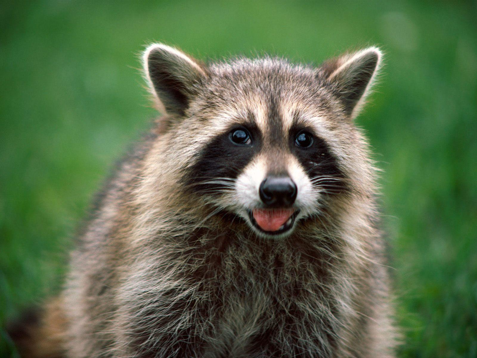 Raccoon T Raccoon | The Life of ...