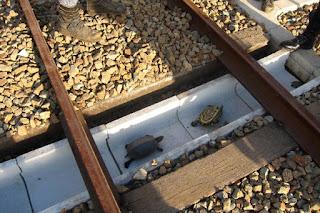 Τούνελ για τις χελώνες στις ράγες των ιαπωνικών σιδηροδρόμων