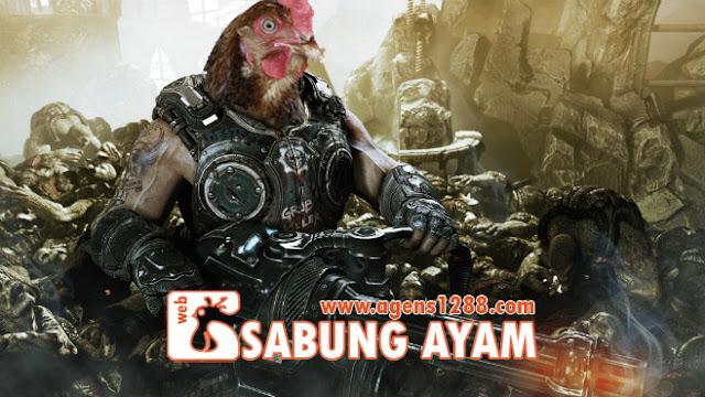 Ayam Adu Taji Berlaga, Seru Abis!
