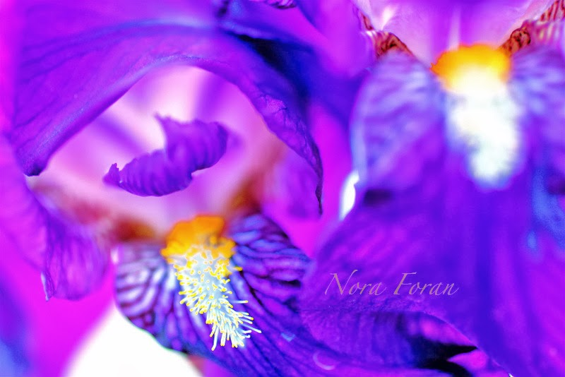 Colorful and Bold Iris Photography