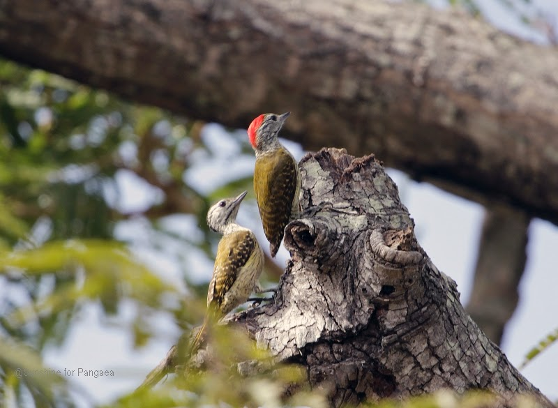 Cardinal Woodpeckers in Gambia