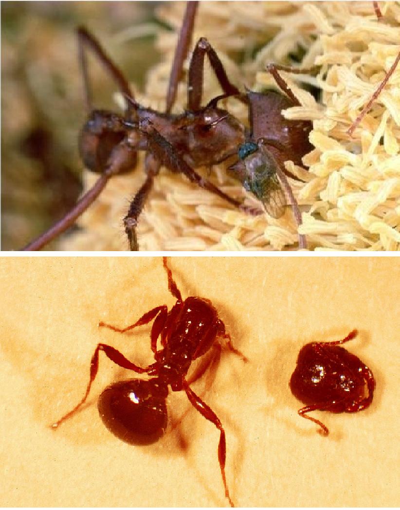 La mosca mas peque a del mundo animales impactantes - Moscas pequenas en el techo ...