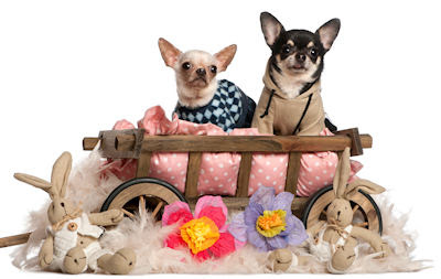 Un par de perritos chihuahua muy carismticos en su cama - Dogs puppies