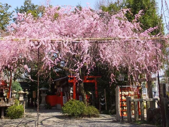 枝振りも豊かな「紅枝垂れ」桜の花が満開になっている。
