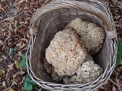 Grzyby we wrześniu, grzybobranie we wrześniu, grzyby w podkrakowskich lasach, siedzuń sosnowy, szmaciak, Sparassis crispa