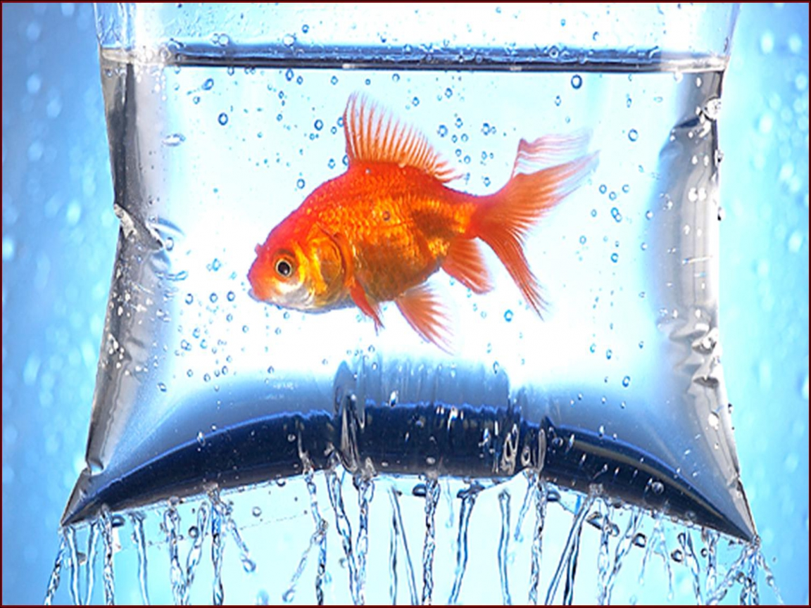 Hq desktop wallpapers fish wallpapers beautiful fish for Wallpaper fish in water