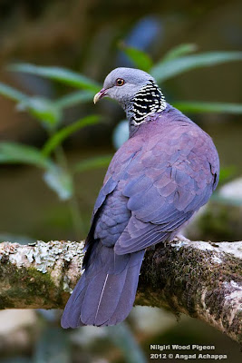Nilgiri Wood Pigeon at Nandi Hills