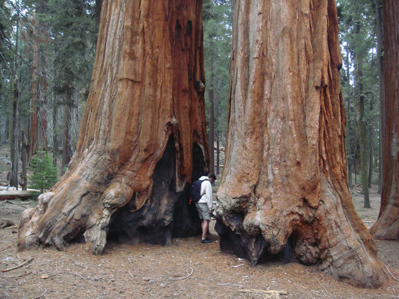 sequoia national park guys When sequoia national park was established in 1890, it was america's second national park it was the first created to protect a living organism: sequoiadendron giganteum.