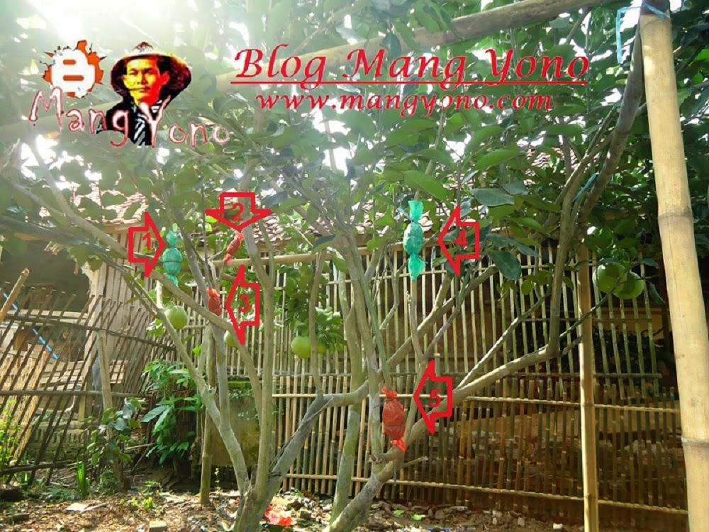 Cara Mencangkok Pohon Jeruk Bali Ala Mang Yono