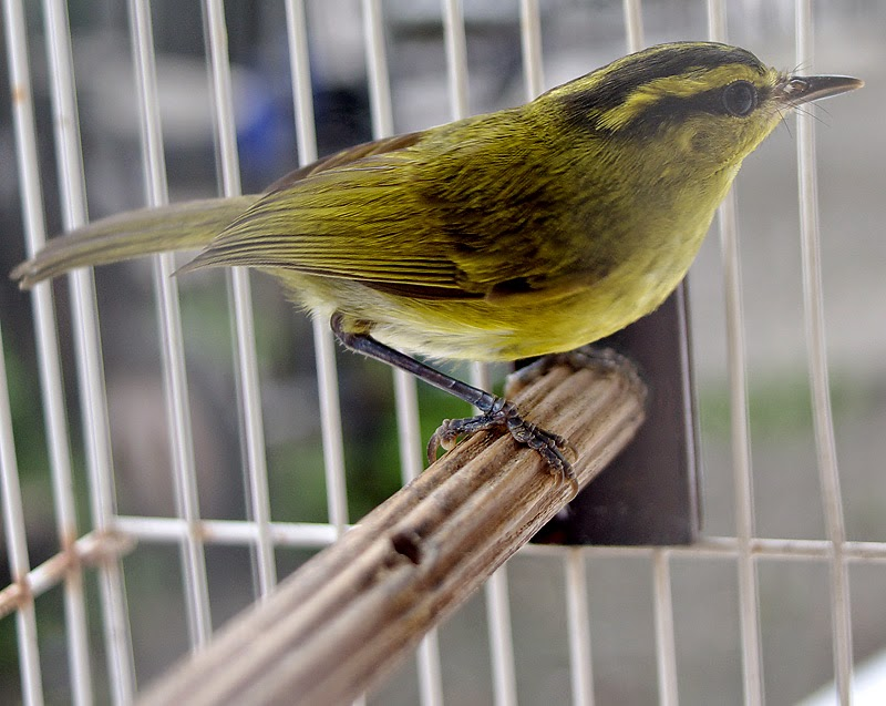 Foto Burung Blereng Terbaik