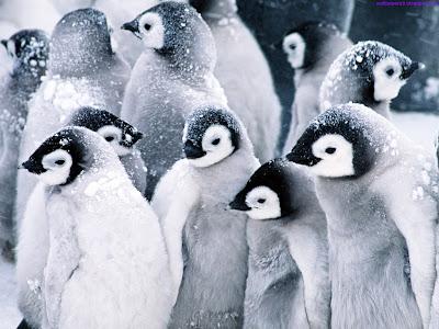 Penguins Standard Resolution Wallpaper 1