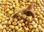 Kacang Kedelai Sumber Kalsium