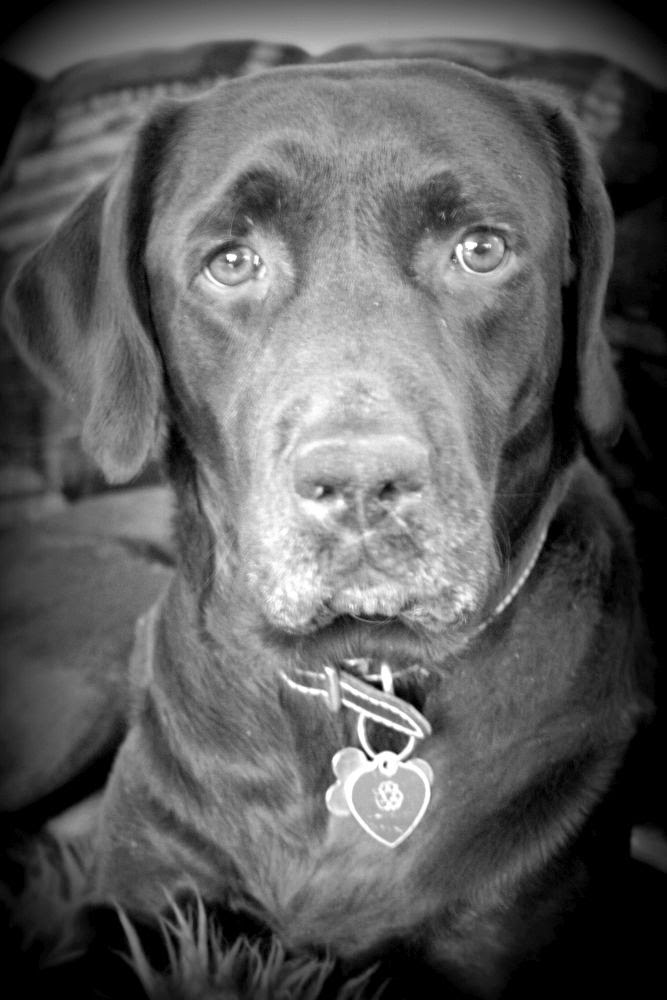 Week 16: A moment best captured in black and white ~ Lucky, our chocolate lab :: All Pretty Things